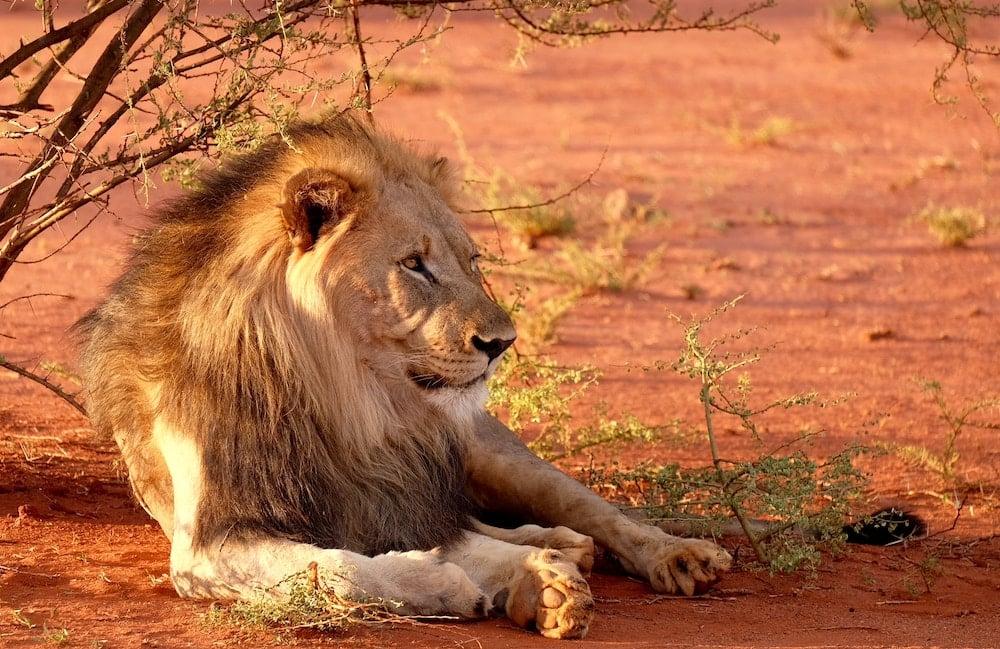 lion vs. slug